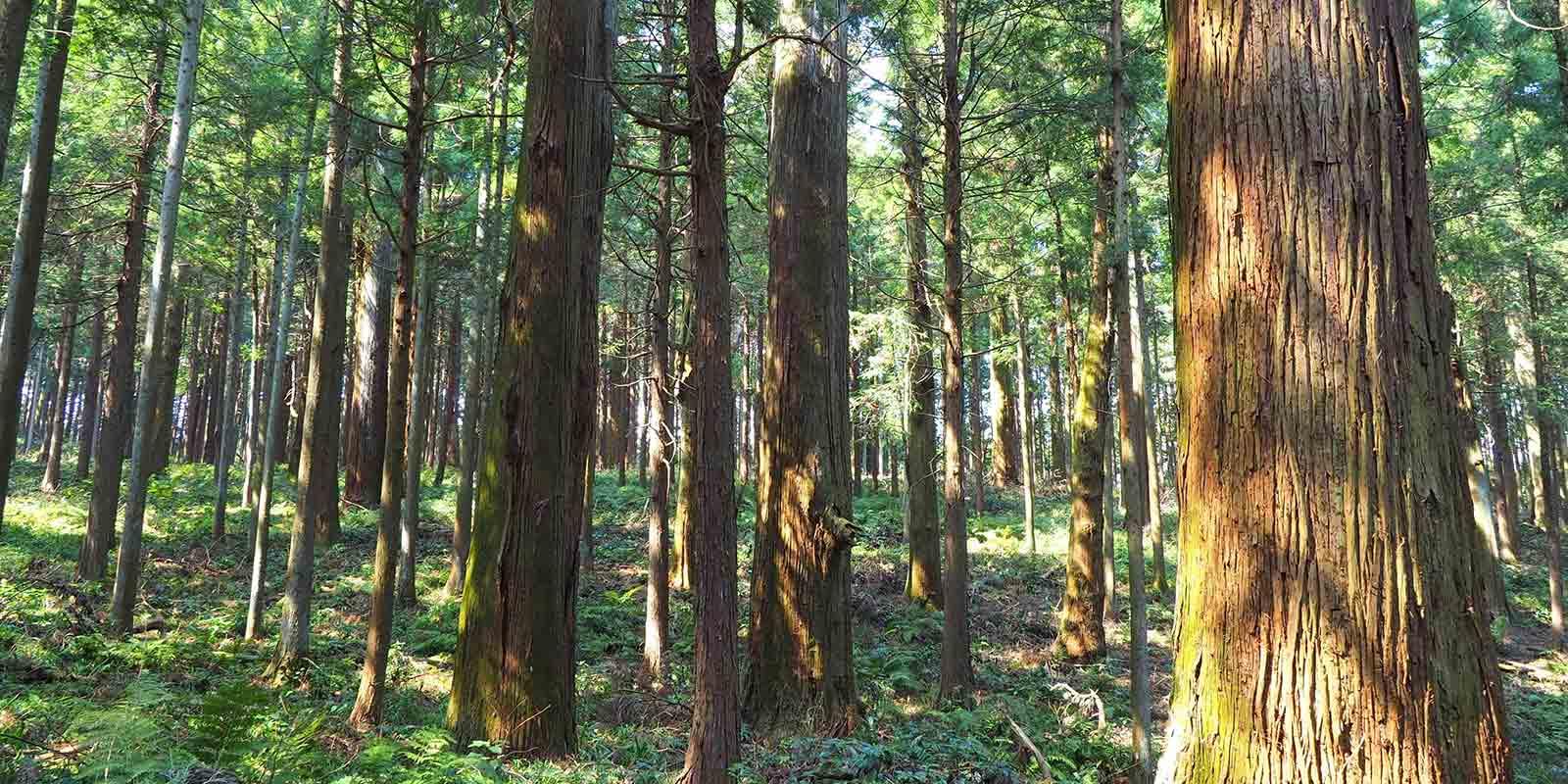 森林にある杉の様子